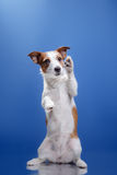 Dog Jack Russell Terrier on a blue background Stock Photos