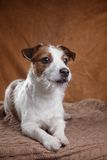 Dog Jack Russell Terrier Stock Image