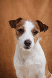 Dog Jack Russell Terrier Royalty Free Stock Images