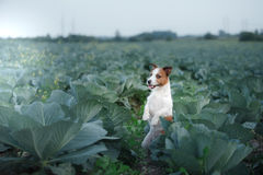 Dog Jack Russell Terrier Royalty Free Stock Photography