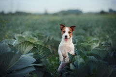 Dog Jack Russell Terrier. In cabbage field Royalty Free Stock Image