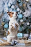 Dog Jack Russell Terrier and Dog Nova Scotia Duck Tolling Retrie stock images