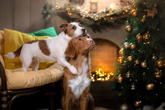 Dog Jack Russell Terrier and Dog Nova Scotia Duck Tolling Retriever . Christmas season 2017, new year. Holidays and celebration stock photos