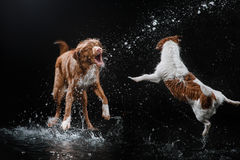 Dog Jack Russell Terrier and Dog Nova Scotia Duck Tolling Retriever, dogs play, jump, run, move in water. Dog Jack Russell Terrier and Dog Nova Scotia Duck Royalty Free Stock Images