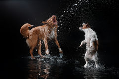 Dog Jack Russell Terrier and Dog Nova Scotia Duck Tolling Retriever, dogs play, jump, run, move in water. Dog Jack Russell Terrier and Dog Nova Scotia Duck Stock Photos