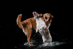 Dog Jack Russell Terrier and Dog Nova Scotia Duck Tolling Retriever, dogs play, jump, run, move in water. Dog Jack Russell Terrier and Dog Nova Scotia Duck Royalty Free Stock Photo