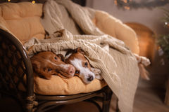 Dog Jack Russell Terrier and Dog Nova Scotia Duck Tolling Retriever . Happy New Year, Christmas, pet in the room the Christmas tre Stock Photography