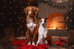 Dog Jack Russell Terrier and Dog Nova Scotia Duck Tolling Retriever . Happy New Year, Christmas. Pet in the room the Christmas tree Stock Photos