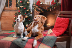 Dog Jack Russell Terrier and Dog Nova Scotia Duck Tolling Retriever holiday, Christmas Stock Image