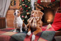 Dog Jack Russell Terrier and Dog Nova Scotia Duck Tolling Retriever holiday, Christmas Stock Images