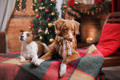 Dog Jack Russell Terrier and Dog Nova Scotia Duck Tolling Retriever holiday, Christmas Stock Photography