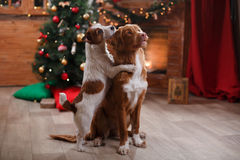 Dog Jack Russell Terrier and Dog Nova Scotia Duck Tolling Retriever holiday, Christmas. And New Year Royalty Free Stock Photos