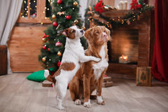 Dog Jack Russell Terrier and Dog Nova Scotia Duck Tolling Retriever holiday, Christmas Royalty Free Stock Image