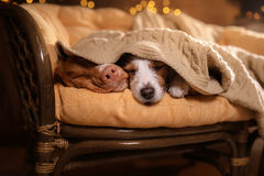 Dog Jack Russell Terrier and Dog Nova Scotia Duck Tolling Retriever . Royalty Free Stock Photography