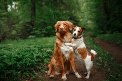 Dog Jack Russell Terrier and Dog Nova Scotia Duck Tolling Retriever walking on the background of white flowers in the orchard. Dog Jack Russell Terrier and Dog Royalty Free Stock Photo