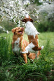 Dog Jack Russell Terrier and Dog Nova Scotia Duck Tolling Retriever walking on the background of white flowers in the orchard. Stock Photo