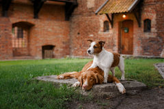 Dog Jack Russell Terrier and Dog Nova Scotia Duck Tolling Retriever walking Royalty Free Stock Image
