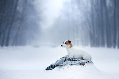 Dog Jack Russell Terrier, dog running outdoors Royalty Free Stock Photography