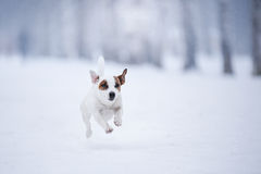 Dog Jack Russell Terrier, dog running outdoors Royalty Free Stock Image