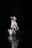 Dog Jack Russell Terrier, dogs play, jump, run, move in water. Dog Jack Russell Terrier, dog Motion in the water, active dogs, aqueous shooting Royalty Free Stock Photos