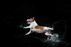 Dog Jack Russell Terrier, dogs play, jump, run, move in water. Dog Jack Russell Terrier, dog Motion in the water, active dogs, aqueous shooting Stock Image