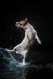 Dog Jack Russell Terrier, dogs play, jump, run, move in water. Dog Jack Russell Terrier, dog Motion in the water, active dogs, aqueous shooting Stock Photo