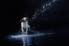 Dog Jack Russell Terrier, dogs play, jump, run, move in water. Dog Jack Russell Terrier, dog Motion in the water, active dogs, aqueous shooting Stock Photography