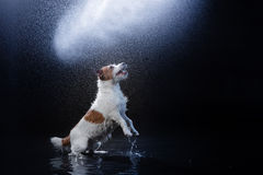 Dog Jack Russell Terrier, dogs play, jump, run, move in water. Dog Jack Russell Terrier, dog Motion in the water, active dogs, aqueous shooting Royalty Free Stock Images