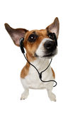 Dog Jack Russell Terrier with earphones Stock Photos
