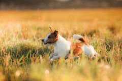 Dog Jack Russell Terrier. In a field at sunrise Stock Photo