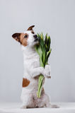 Dog Jack Russell Terrier with flowers. In Studio Stock Images