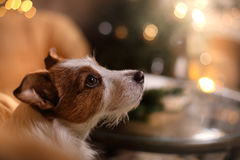 Dog Jack Russell Terrier. Happy New Year, Christmas, pet in the room the Christmas tree Stock Images