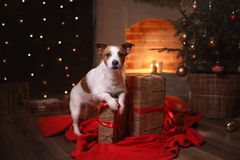 Dog Jack Russell Terrier. Happy New Year, Christmas, pet in the room. The Christmas tree Stock Images