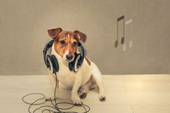 Dog Jack Russell Terrier in headphones. Dog Jack Russell Terrier in headphones listening to music, next notes, gray background, toned Stock Photography