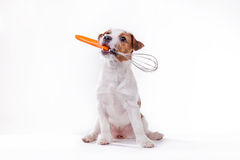 Dog Jack Russell Terrier Stock Photos