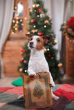 Dog Jack Russell Terrier holiday, Christmas. And New Year Stock Image