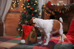 Dog Jack Russell Terrier holiday, Christmas. And New Year Stock Photography