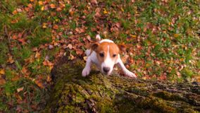 Jack Russell Terrier dog jumping up to catch wooden stick. Pretty puppy playing in the garden, backyard. Purebred dog