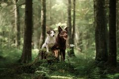 Dog Jack Russell Terrier and a Kelpie. In the woods stock images