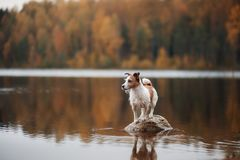 Dog Jack Russell Terrier on the lake. Dog Jack Russell Terrier standing on rock in lake royalty free stock photos
