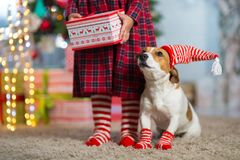 Dog Jack Russell Terrier and legs of a little girl in red white stock photos