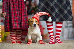 Dog Jack Russell Terrier and legs woman and little girl stock image