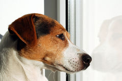 Dog Jack Russell Terrier looking on the window. Dog watch over world through the window. Sad dog. Autumn melancholy. Dog is home alone and bored stock photography