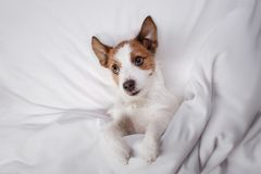 Dog Jack Russell Terrier lying in bed Stock Images