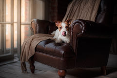 Dog Jack Russell Terrier lying on the leather chair next to a wooden window Stock Image