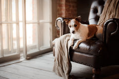Dog Jack Russell Terrier lying on the leather chair next to a wooden window Royalty Free Stock Photo