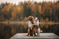Dog Jack Russell Terrier and Nova Scotia duck tolling Retriever royalty free stock image
