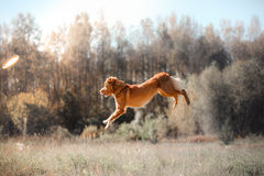 Dog Jack Russell Terrier and Nova Scotia Duck Tolling Retriever jump over the leaves Stock Photos