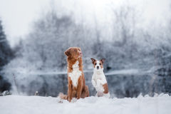 Dog Jack Russell Terrier and a Nova Scotia Duck Tolling Retriever outdoors Royalty Free Stock Photography