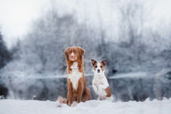 Dog Jack Russell Terrier and a Nova Scotia Duck Tolling Retriever outdoors Royalty Free Stock Photo